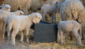 Lambs drinking water in spring time