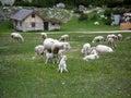 lambs feeding Royalty Free Stock Photo
