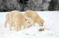 Lambs flock of sheep skudde with lamb eating the hay meadow covered with snow winter on the farm Royalty Free Stock Images