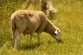 Lambs grazing on a meadow chewing lazily Royalty Free Stock Images