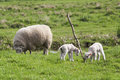 Lambs playing with branch newborn are a mother sheep is grazing nearby Royalty Free Stock Photo