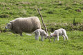 Lambs playing with branch newborn are a mother sheep is nearby Royalty Free Stock Photos