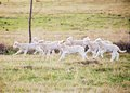 Lambs running Royalty Free Stock Photo