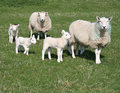 Lambs and sheep in field Royalty Free Stock Photo