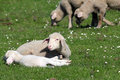 Lambs and sheep on pasture Royalty Free Stock Photography