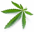 Lame de cannabis   Images stock