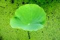 Lames vertes de lotus, l'harmonie entre l'homme et Na Photographie stock libre de droits