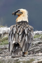 Lammergeier or lammergeyer or bearded vulture, Royalty Free Stock Photo
