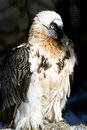 Lammergeyer or Bearded Vulture Royalty Free Stock Photo