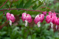 Lamprocapnos spectabilis Royalty Free Stock Photo