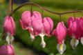 Lamprocapnos spectabilis Stock Photo