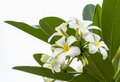 Lan thom flower beautiful white in thailand Stock Photography