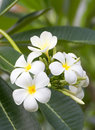 Lan thom flower beautiful white in thailand Royalty Free Stock Photo