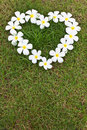 Lan Thom white heart-shaped flowers. Royalty Free Stock Photo