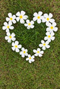 Lan Thom white heart-shaped flowers. Royalty Free Stock Image