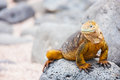 Land iguana endemic to the galapagos islands ecuador Stock Photography