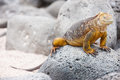 Land iguana endemic to the galapagos islands ecuador Stock Image