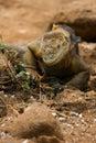 Land iguana, galapagos islands Stock Photo