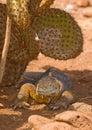 Land iguana, galapagos islands Stock Photos