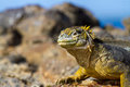 Land Iguana in the Galapagos Islands Royalty Free Stock Photo