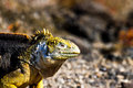 Land Iguana In The Galapagos I...