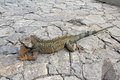 A land iguana in Guayaquil, Ecuador Royalty Free Stock Images