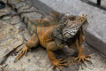 Land iguana a latin conolophus subcristatus displaying mating behavior Royalty Free Stock Image