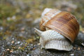 Land snail Royalty Free Stock Photos