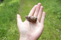 Land snail on hand Royalty Free Stock Photo