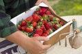 Landbouwer gathering fresh strawberries in manden Stock Fotografie