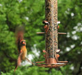 Almost landed cardinal female in flight to a bird feeder Royalty Free Stock Photography
