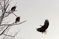 Landing bald eagle haliaeetus leucocephalus Royalty Free Stock Photography