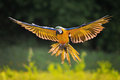 Landing blue and yellow macaw ara ararauna in backlight front view on with green background Royalty Free Stock Image