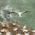 Landing gannets close up of on cliffs Royalty Free Stock Image
