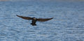 Landing Great Cormorant Royalty Free Stock Images