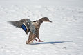 Landing on the ice mallard or wild duck anas platyrhynchos female Royalty Free Stock Image