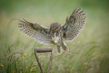 Landing little owl Royalty Free Stock Photo