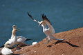 Landing northern gannet on the rock coast with see in background Royalty Free Stock Photography