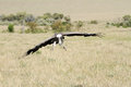 A landing scavenger vulture is large scavenging bird Stock Photography