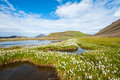 Landmannalaugar field of cotton grass in a valley surrounded by mountains and glacial lakes at iceland Royalty Free Stock Photo