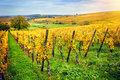 Landscape with autumn vineyards. France, Alsace Royalty Free Stock Photo
