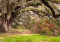 Landscape azaleas contrasted against color new spring green grass blooming beneath tunnel old southern live oak trees hanging moss Royalty Free Stock Images