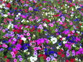 Landscape background with colored flower beds red pink and white petunia bed for brightly multicolored backgrounds Royalty Free Stock Image