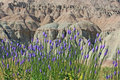 Landscape of badlands national park with wooly verbena flowers Stock Photo