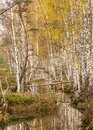 Landscape with a bog ditch, colorful trees on the side of the ditch, tree trunks falling across the water, white birch trunks and Royalty Free Stock Photo