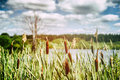 Landscape with bulrush cloudy and pond Royalty Free Stock Images
