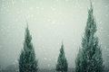 Landscape of Christmas tree pine or fir with snowfall on sky background in winter. Royalty Free Stock Photo