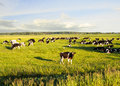 Landscape With Cows Grazing In Field In Summer Royalty Free Stock Photo