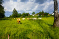 Landscape with cows grazing on a lush greeen meadow Stock Photos