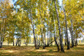 Landscape early autumn. Glade with yellow grass and leaves on the background of autumn birch trees illuminated by the sun and blue Royalty Free Stock Photo